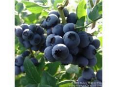 奥尼尔新鲜蓝莓鲜果头茬大果现摘现发基地直供批发 绿色原生态水果--