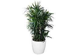 吉林吉林棕 竹