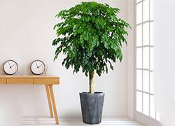 上海上海幸福树