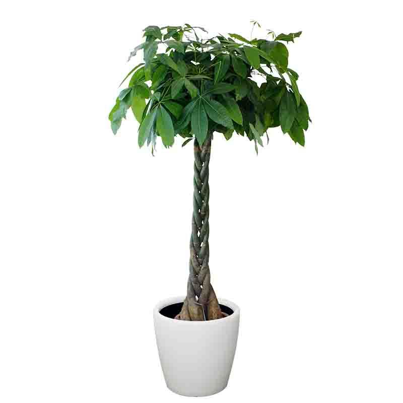 发财树(大盆)