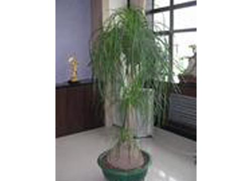 大型龙须树
