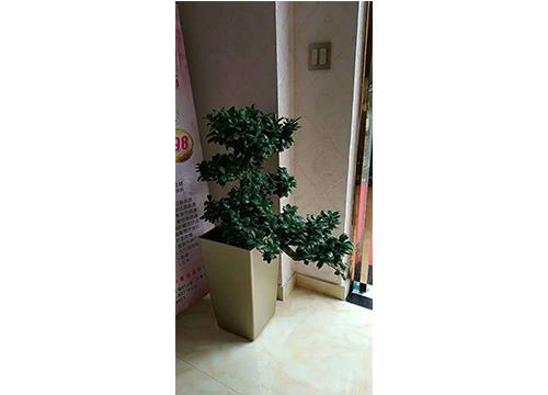 榕树-(2)