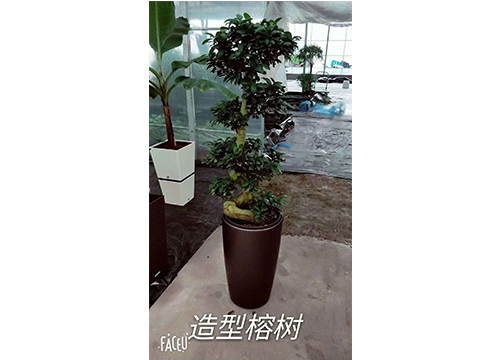 榕树-(3)