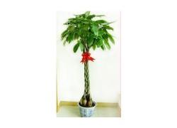 五编发财树