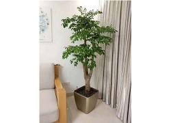 香港香港幸福树