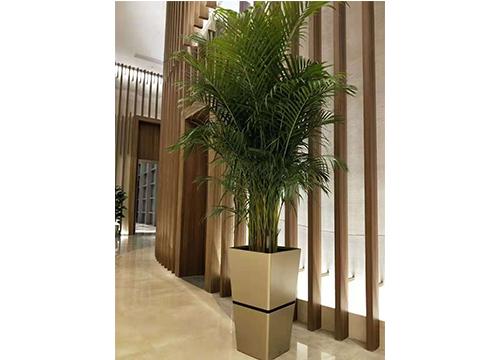 棕竹-(2)