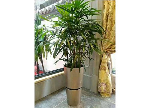 棕竹-(4)