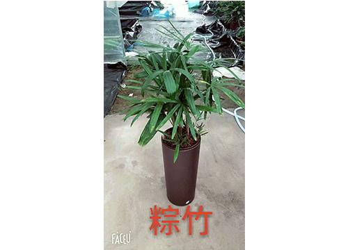 棕竹-(5)
