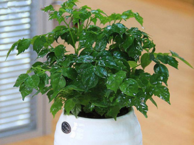 小幸福树-- 合肥景云轩园艺有限公司