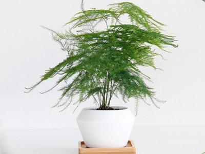 文竹-- 合肥景云轩园艺有限公司