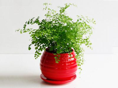 铁线蕨-- 合肥景云轩园艺有限公司