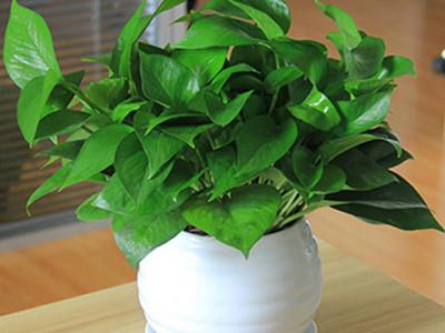 绿萝-- 合肥景云轩园艺有限公司