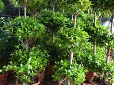 开业绿植-- 合肥景云轩园艺有限公司